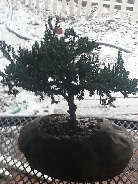 Bonsai Tree Juniper from The Soothing Company